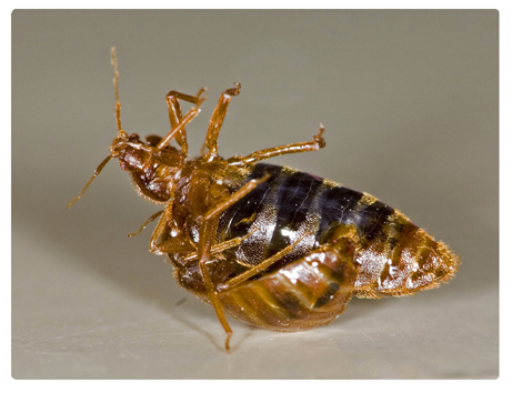 Bed Bug Control Sydney_03