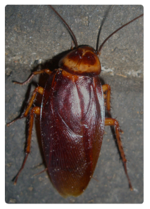 German Cockroach, german cockroaches, german cockroach control, cockroach control sydney, cockroaches control_13