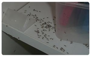 Black-House-Ants2