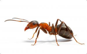 Pest-Control-Ants-300x189