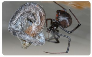 Redeback-Spider-Lacrodectus-hasseti-300x185