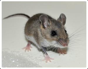 Rodent-Control-Sydney-Rat-Control-Rodent-Control_01-300x236