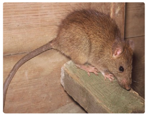 Rodent-Control-Sydney-Rat-Control-Rodent-Control_03-300x236