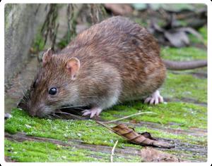 Rodent-Control-Sydney-Rat-Control-Rodent-Control_15-300x236