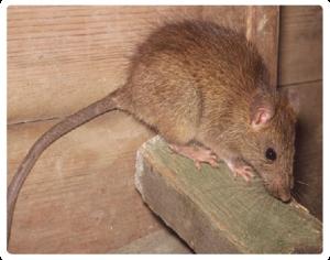 Rodent-Control-Sydney-Rat-Control-Rodent-Control_16-300x236