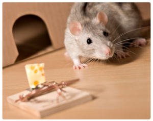 Rodent-Control-Sydney-Rat-Control-Rodent-Control_19-300x237