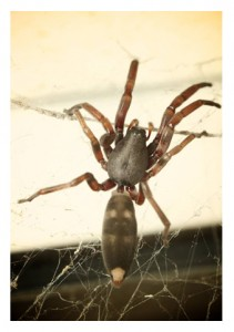 White-Tail-Spider-Lampona-cylindrata-211x300